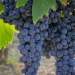 vino-uva-sangiovese